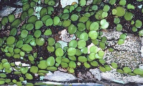 Drymoglossum piloselloides helecho semillas