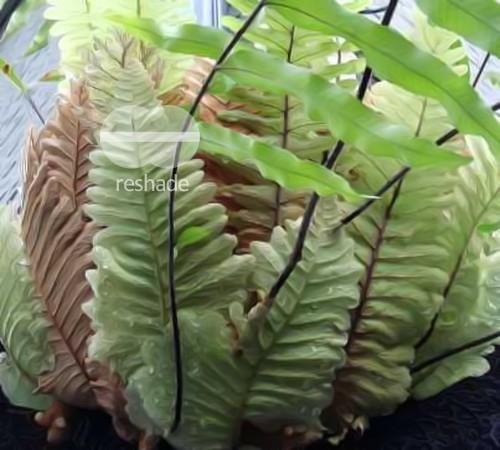 Drynaria rigidula Vogelnest Farn - Eichenblatt Farn Samen