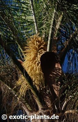 Dypsis lutescens Goldblattpalme - Goldfruchtpalme - Areca Palme Samen