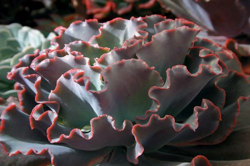 Echeveria gibbiflora v Cuanana Sukkulente Samen