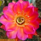 Echinopsis Allusion syn: Trichocereus ALLUSION Samen