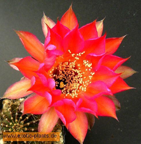Echinopsis Carneval syn: Trichocereus CARNEVAL Samen