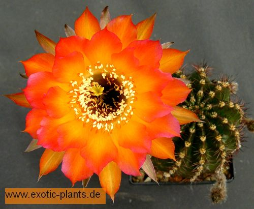 Echinopsis Danse Macabre syn: Trichocereus DANSE MACABRE Samen