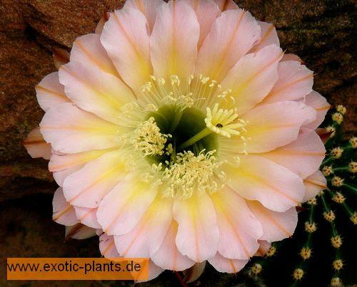 Echinopsis Edwardian Lady  semillas