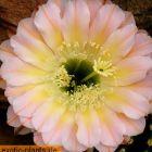 Echinopsis Edwardian Lady syn: Trichocereus EDWARDIAN LADY Samen