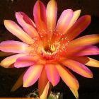 Echinopsis Jerusalem  semi