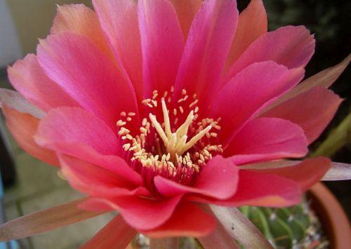 Echinopsis calorubra syn: Pseudolobivia obrepanda v. calorubra Samen