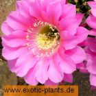 Echinopsis species (pink)  semi