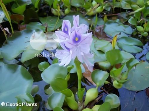Eichhornia crassipes dickstielige Wasserhyazinthe Samen