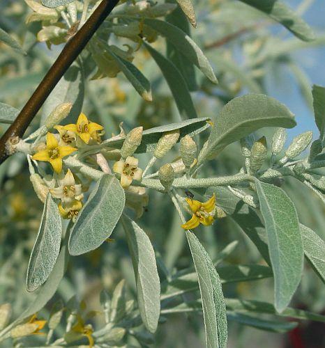 Elaeagnus angustifolia Olive Russe graines