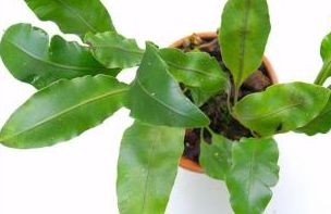 Elaphoglossum glaucum  semillas