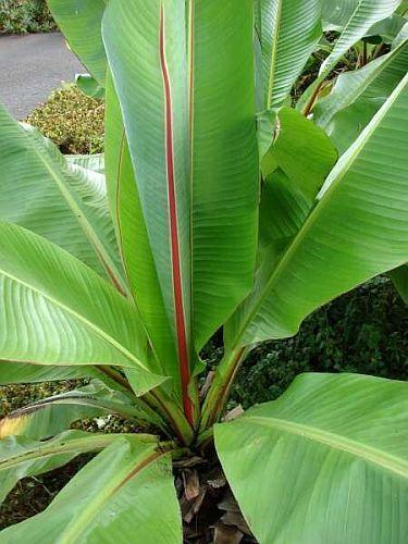 Ensete ventricosum wilde Banane Samen