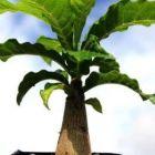 Entandrophragma caudatum Banana bois graines