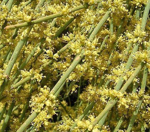 Ephedra sinica Ma-Huang - Ephedra china semillas