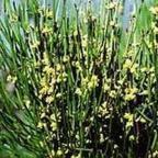 Ephedra sinica Ma-Huang semi