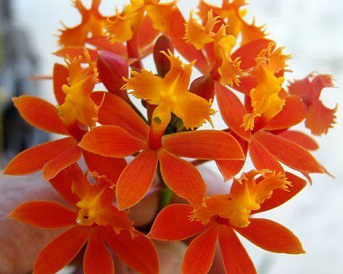 Epidendrum fulgens orquídea semillas