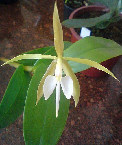 Epidendrum nocturnum orquídea semillas