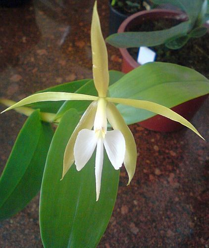 Epidendrum nocturnum Orchideen Samen