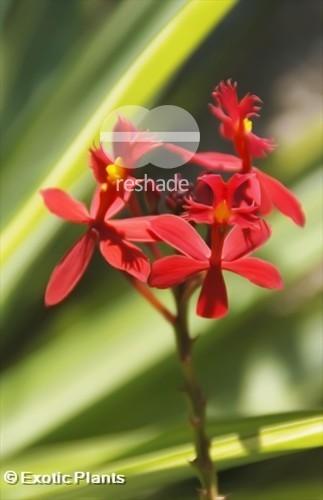 Epidendrum radicans ballerina Orchideen Samen