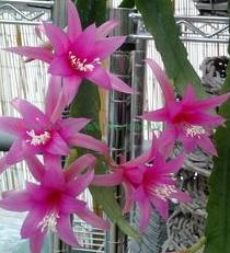 Epiphyllum Delicate Jewels  semillas