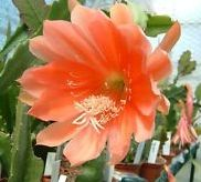 Epiphyllum Orange Watersrand  semillas