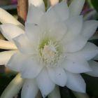 Epiphyllum Oriole Orchideenkaktus Oriole Samen
