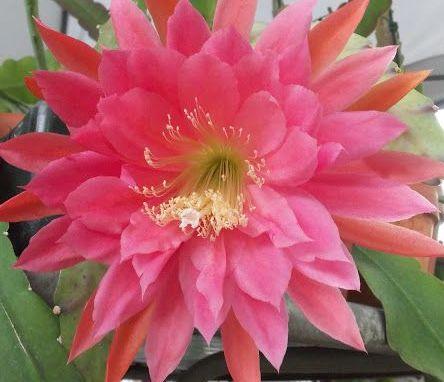 Epiphyllum XMas Bells  semillas