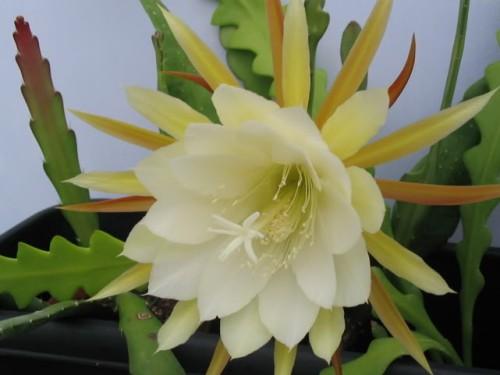 Epiphyllum crenatum forma gekerbte Orchideen-Kaktus Samen