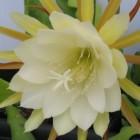 Epiphyllum crenatum forma  cемян