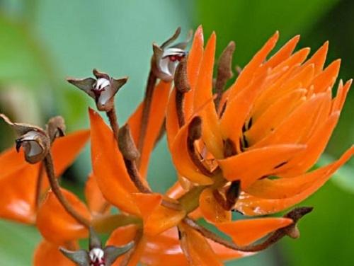 Eria ornata Orchideen Samen
