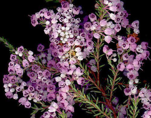 Erica canaliculata Heidekraut Samen