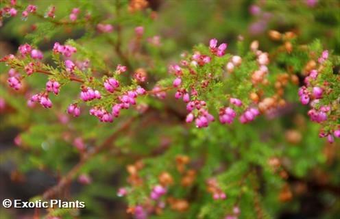 Erica gracilis Heidekraut Samen