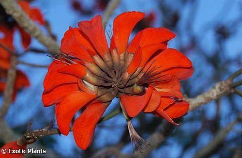Erythrina caffra árbol costero de coral semillas