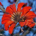 Erythrina caffra ?rythrine caffre, ?rythrine de Kafrarie graines
