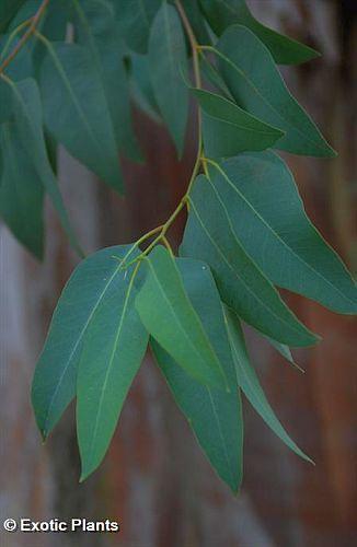 Eucalyptus citriodora eucaliptus de limón semillas