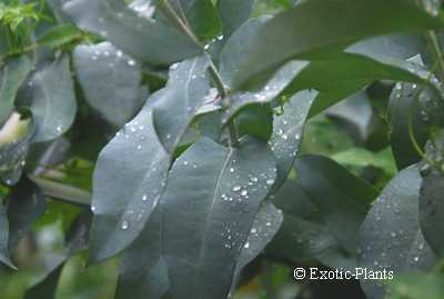 Eucalyptus globulus Eukalyptusbaum Samen