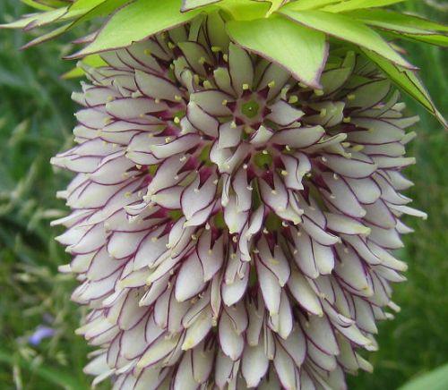 Eucomis bicolor  semillas