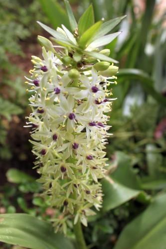 Eucomis pallidiflora Riesen Ananas Lilie Samen