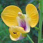 Eulophia speciosa Orchidee - Orchideen Samen