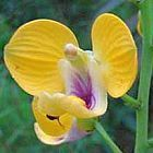 Eulophia speciosa  cемян