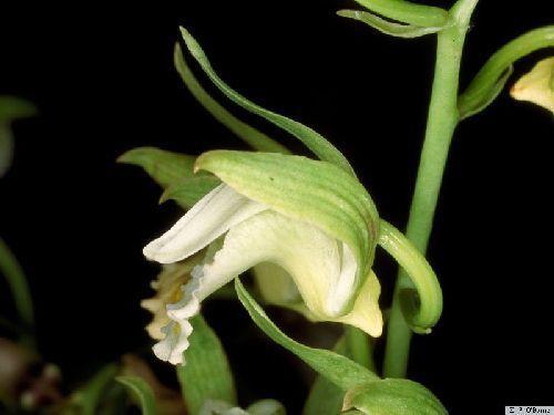 Eulophia spectabilis Orchideen Samen