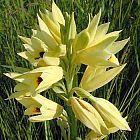 Eulophia welwitschii  cемян