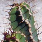 Euphorbia avasmontana Wolfsmilchgew?chse Samen