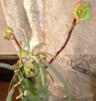 Euphorbia clava  cемян