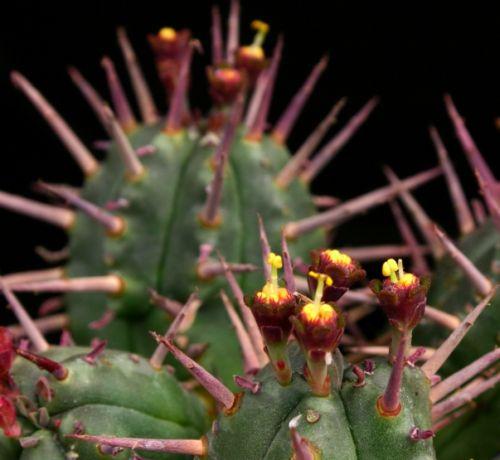 Euphorbia ferox  Семена