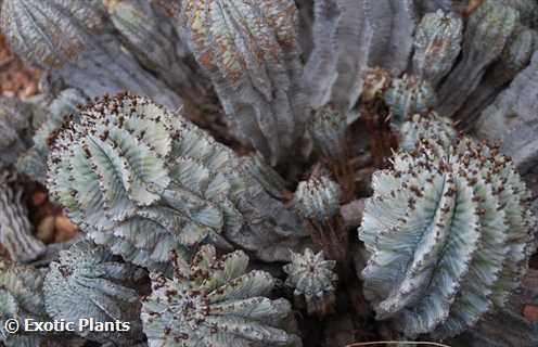 Euphorbia horrida  Семена