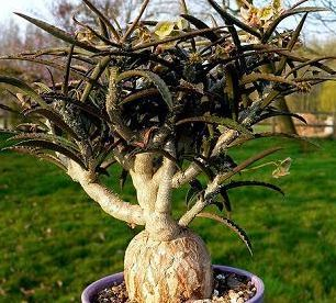Euphorbia warningiae Caudexpflanze Samen
