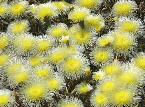Eurystigma clavatum planta suculenta semillas