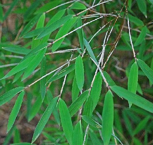 Fargesia huaningensis winterharter Bambus Samen
