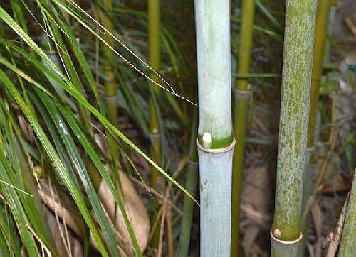 Fargesia papyrifera bambú semillas